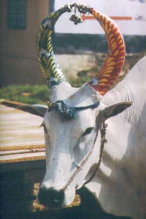 The cow is highly respected in India; people respect her and give her ornaments for  festivals